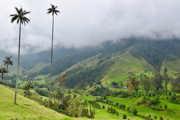 Snapshot of Colombia national tree, the wax palm