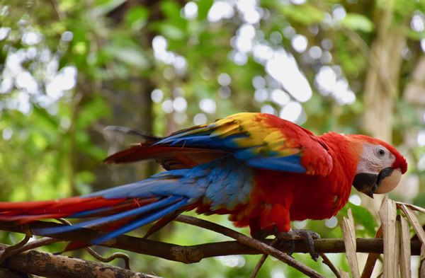 Rehabilitated scarlet macaw in KSTR sanctuary