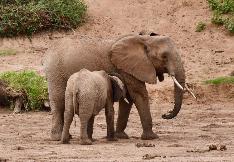 Mother with young in Samburu Game Preserve