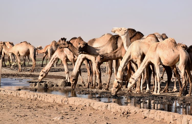 camels drinking water at an oasis in the Chalbi desert