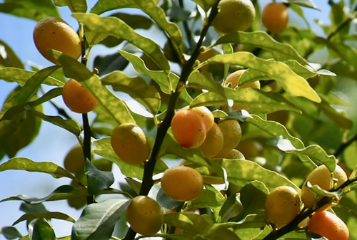 Kumquat tree.