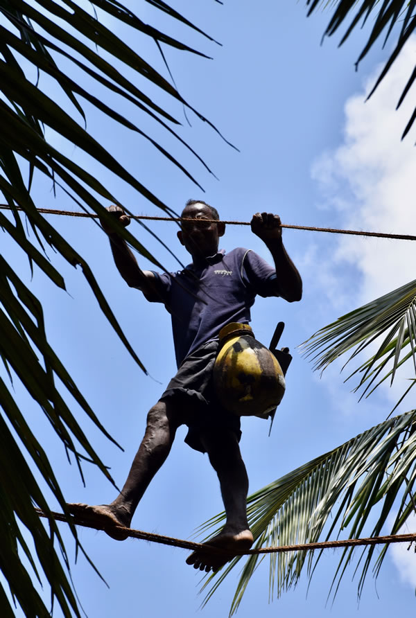 A toddy tapper in action at a coconut plantation