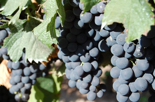 Grapes of Mendoza