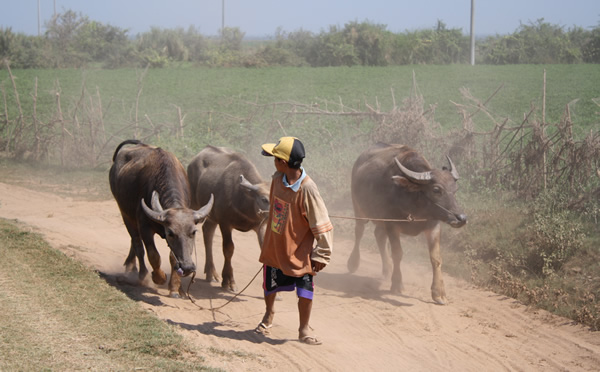 A typical scene in Cambodia's countryside