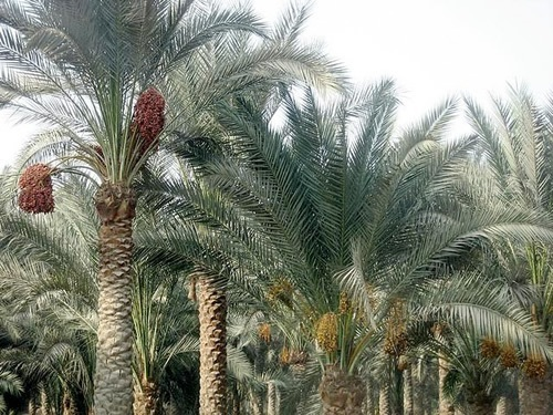 Date Palms Outside of Cairo