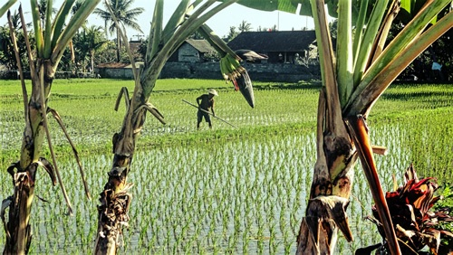 A farmer tending his fields in Bali