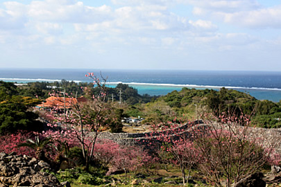 Cherry Blossoms in Okinawa, Japan