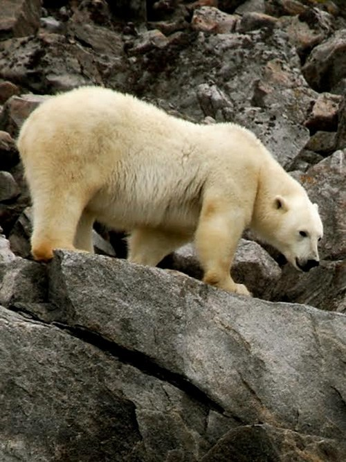 Hungry arctic polar bear in summer