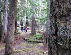 Walks in some of tallest forest in world along Canada's coast