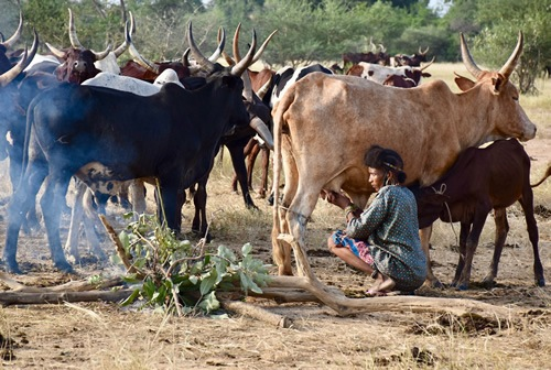 Woman milking cow (zebu)