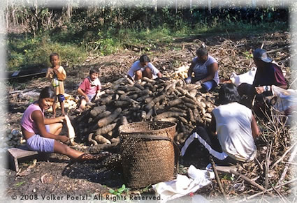 Volunteer in Brazil -- Harvesting and processing the manioc roots