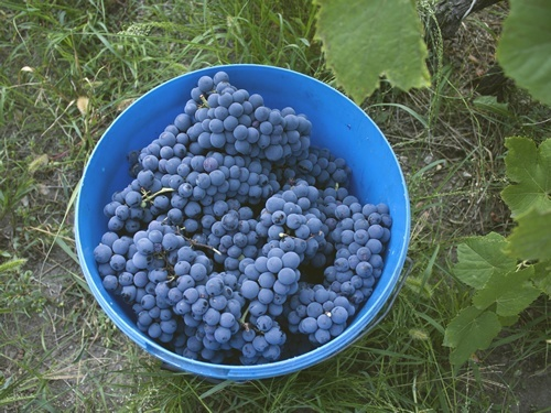 Fresh grapes for wine harvest