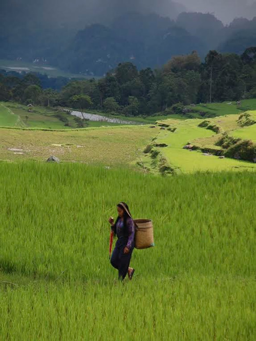 Rice fields on Toraja