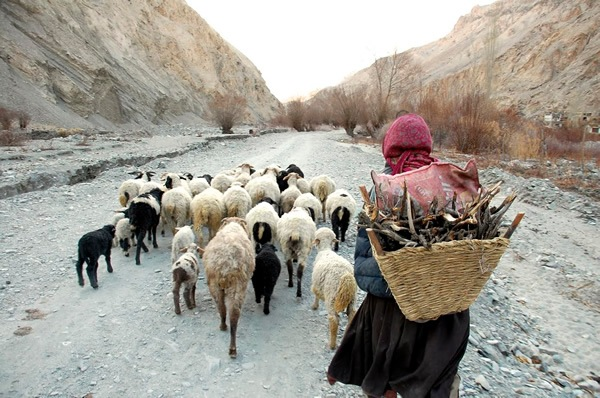 Host in Skiu village carrying firewood with sheep