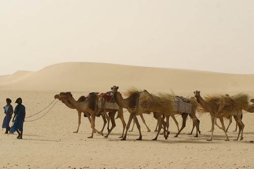 Camel drovers in the deser
