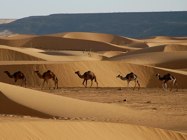 Camels walking through sand dunes in Mauritania.