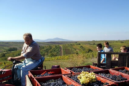 Moravian family gathers the grape harvest.