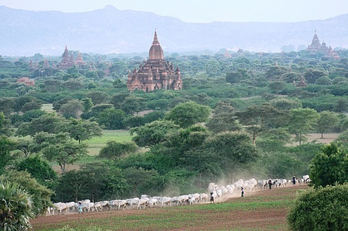 Locals driving cattle through Bagan