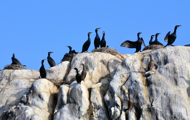 Senja morning Cormorants