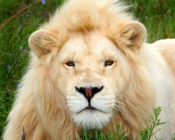 free downloading pics of lion wiki