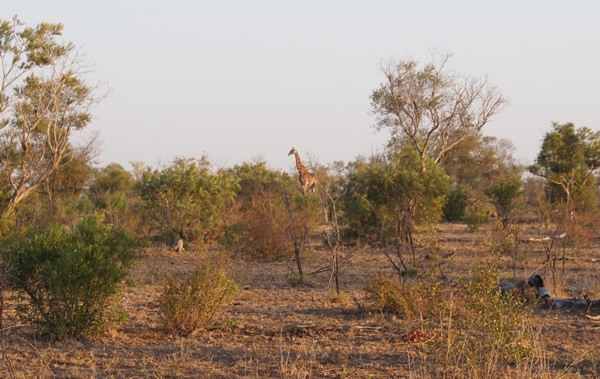 A solitary giraffe in Kruger National Park