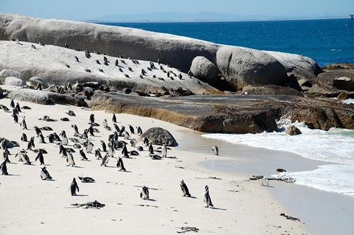 Penguins wandering freely on the beach