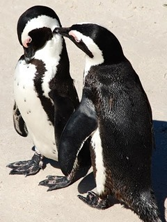 Penguin couple in South Africa