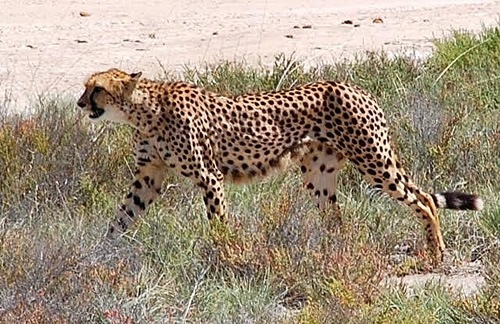 Encounter with cheetah in Etosha National Park
