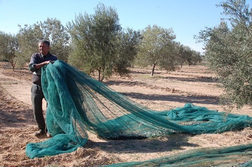 Harvesting olives by making them drop onto nets