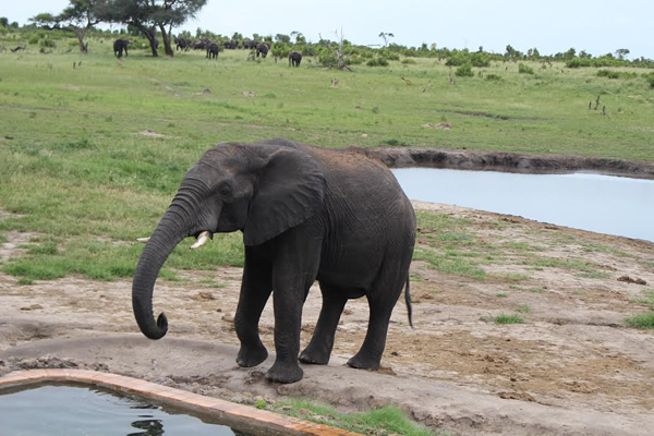 Elephant driking from pool at camp at Hwange National Park in Zimbabwe