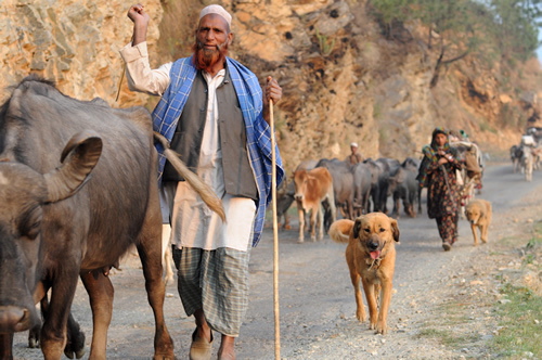 Gujjar tribe in India - Accident on the Buffalo Trail