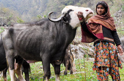Gofu with a member of a buffalo herd