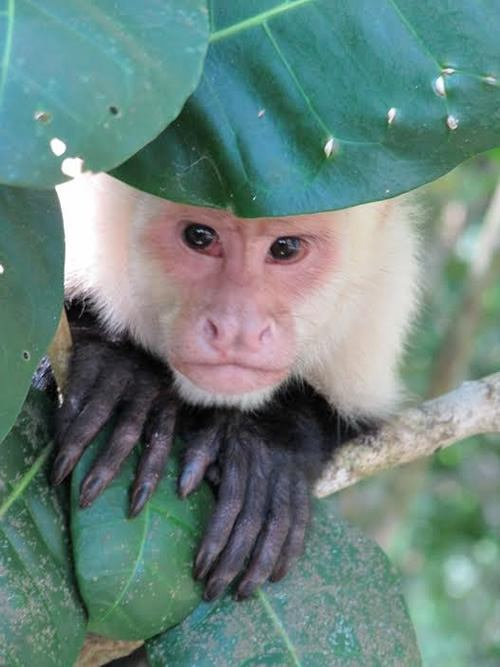 Capuchin monkey in Manuel, Costa Rica