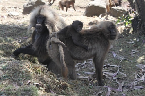 Baboon family in Ethiopia