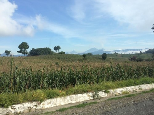 Cornstalk field in Guatemala