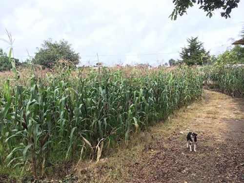 Fields of cornstalk