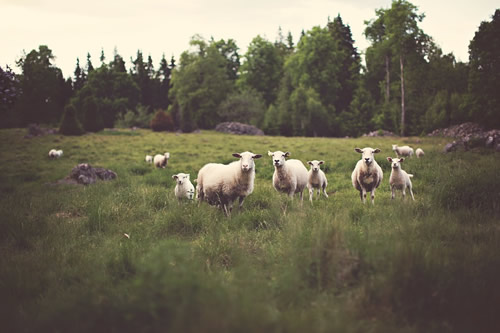 Eco travel and meeting sheep