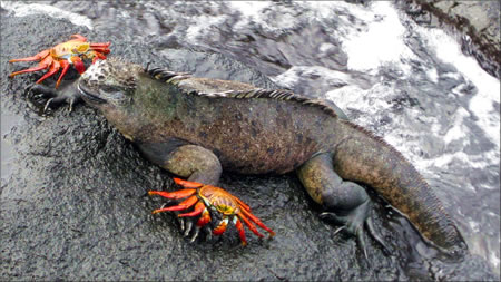 Galapagos marine iguana and crabs