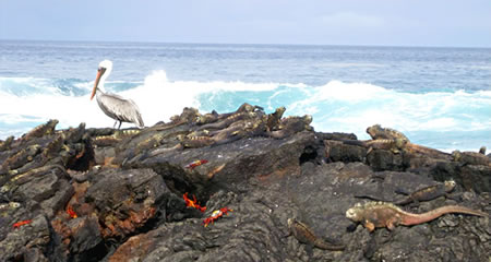 Sea birds, marine iguanas, Sally Lightfoot crabs and sea lions in Galapagos