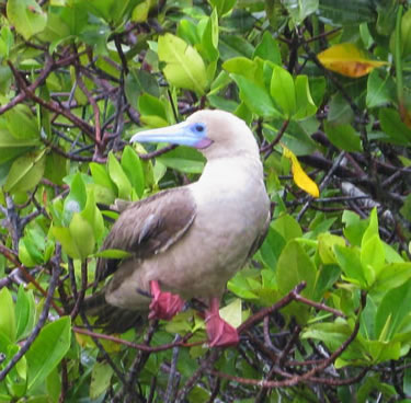 Galapagos red-footed booby