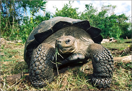 Galapagos Giant Turtle