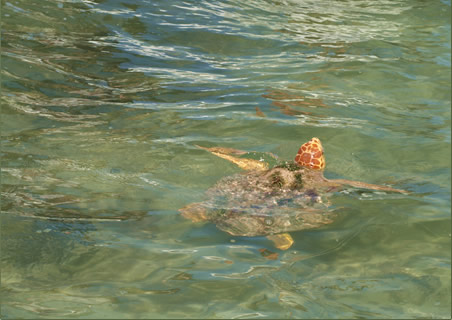 Endangered sea turtle species in Sian Ka�an