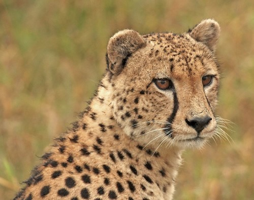 Cheetahs and wildlife preservation