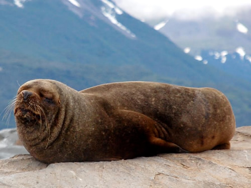 Sea Lion in Beagle Channel Patagonia