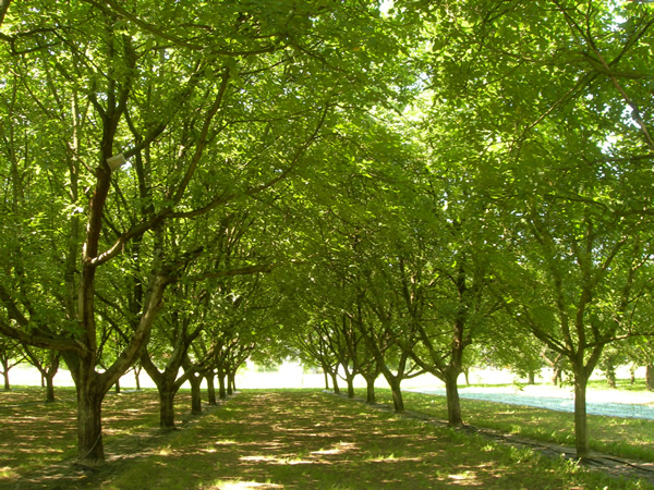 Walnut orchards in the Grenoble Y