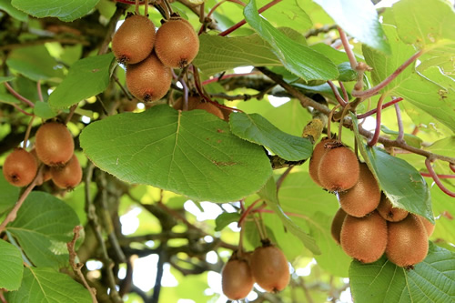 Kiwi fruit almost ready to be harvested in New Zealand