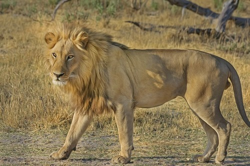 Lions in Africa are endangered