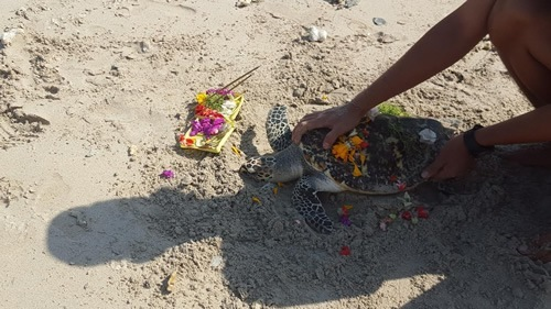 Volunteer to care for injured sea turtles