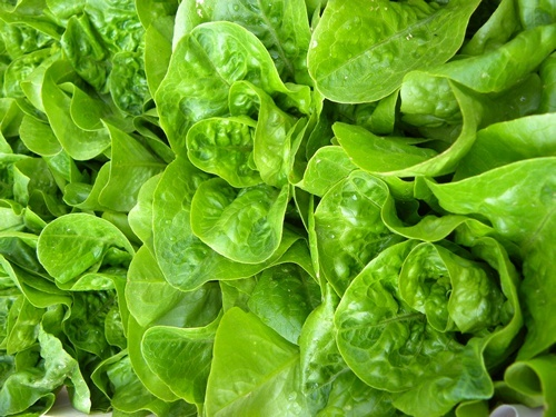 Beautiful, gleaming lettuce
