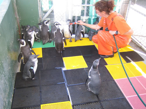 Volunteering to rinse Penguins to prepare them to be set back to the wild